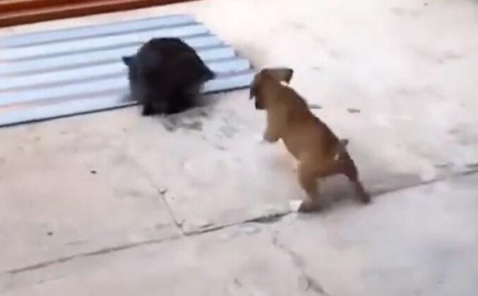 Slatki psić umislio da je zec pa je kopirao svog prijatelja