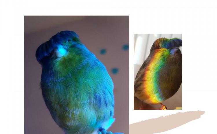 Upoznajte pticu sa šiškama koja je osvojila internet