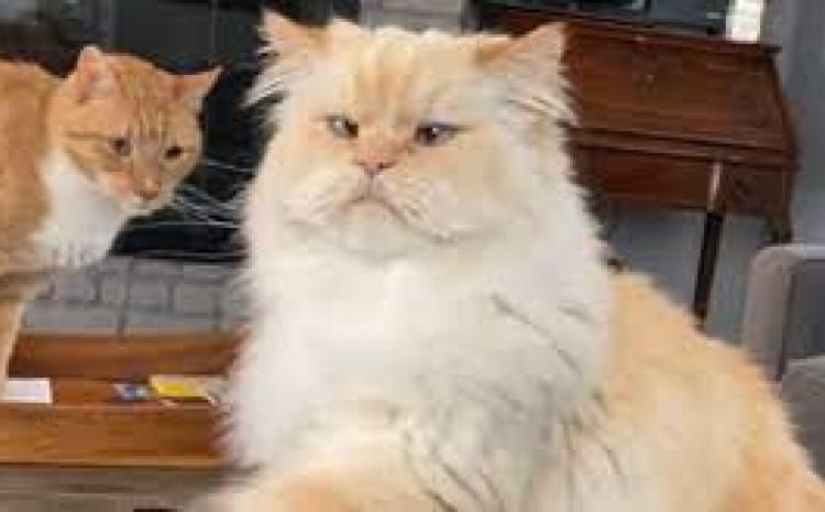Mačka na zanimljiv način traži slatkiše od vlasnice, snimka je hit na internetu